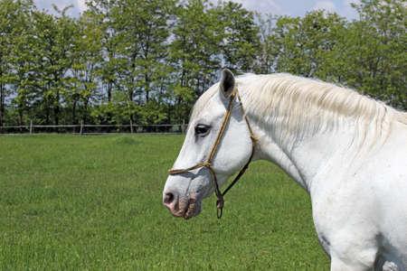 lipizzaner: Lipizzaner horse on green field portrait