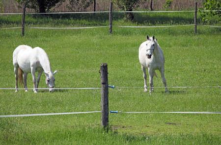 lipizzaner: two Lipizzaner horse on field