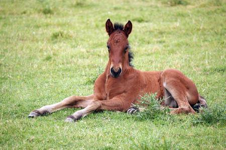 cute brown foal lying on meadow photo