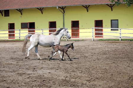 lipizzaner: Lipizzaner horse and foal running