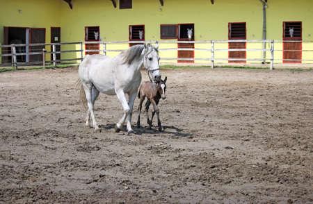 lipizzaner: ranch with Lipizzaner horses Stock Photo