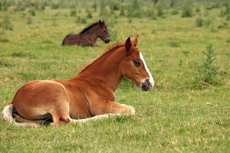 horse foals lying on field photo