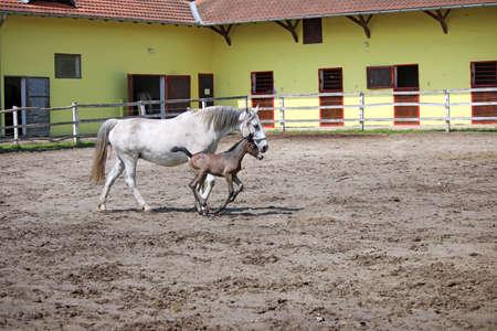 lipizzaner: Lipizzaner foal running on farm