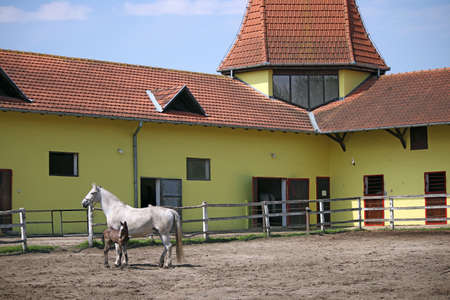 lipizzaner: Lipizzaner mare and foal on ranch