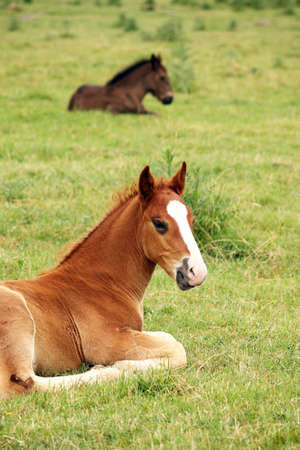 two foals lying on meadow photo