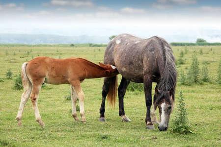 breastfeeding: foal breastfeeding in the field