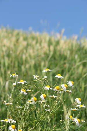 chamomile flower: chamomile flower meadow spring season Stock Photo