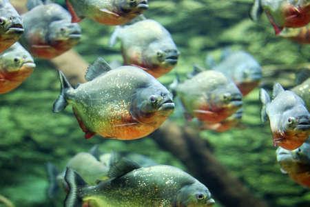 flock of piranhas swim nature wildlife photo