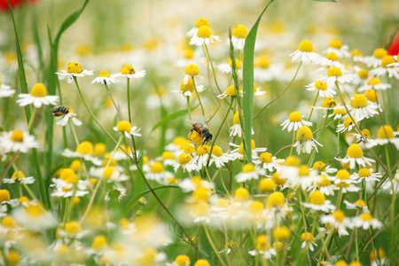 chamomile flower: bee on chamomile wild flower springtime