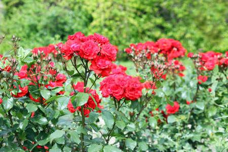 roses flower garden spring season
