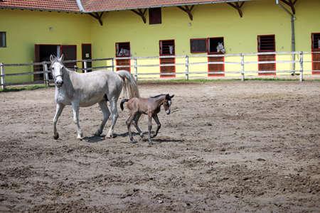 lipizzaner: Lipizzaner horse and foal on farm