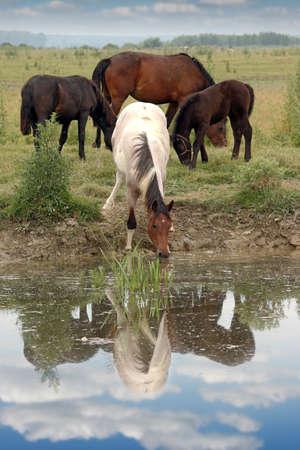 caballo bebe: manada de caballos en el abrevadero