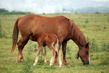 suckle: brown foal breastfeeding in the field