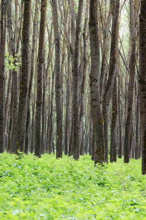 deciduous woodland: forest trees and foliage summer Stock Photo