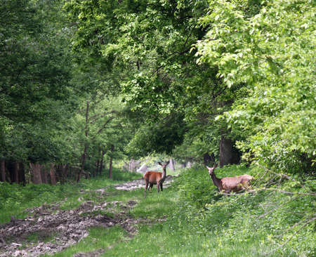 doe: two deer doe in forest nature wildlife