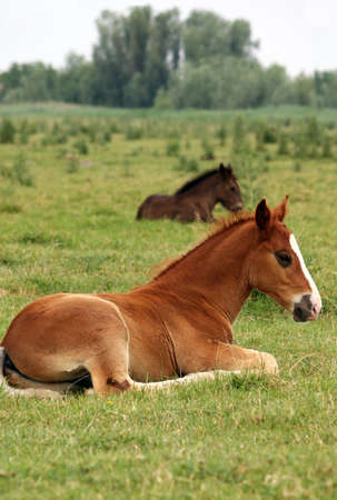 foals lying on pasture photo