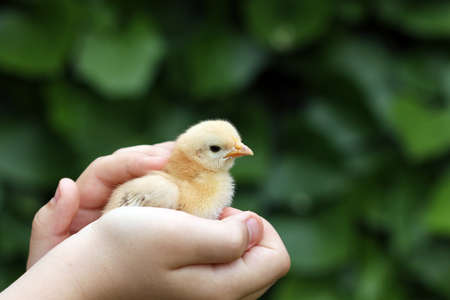 baby chick: cute yellow little chicken in child hand