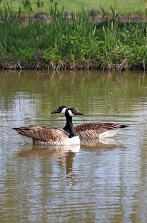 canadian geese: Two Canadian geese on the river Stock Photo