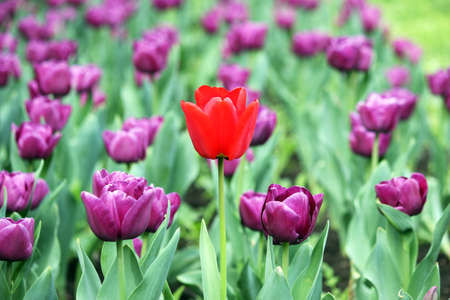 tulip: garden with purple and one red tulip flower