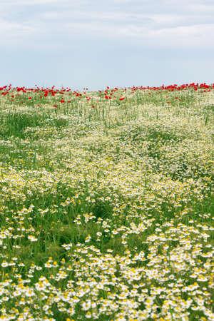 green meadow: chamomile flower meadow spring season Stock Photo