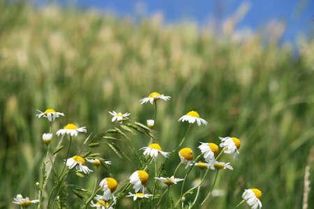 chamomile flower: white chamomile flower spring season