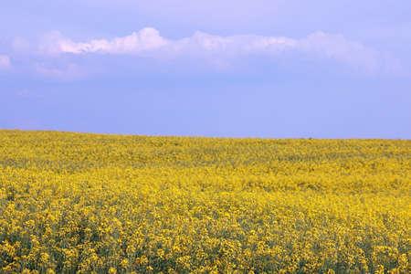 oilseed: oilseed rape field summer season Stock Photo