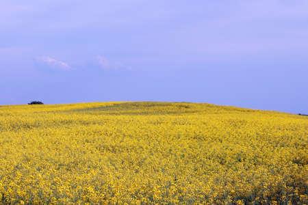 oilseed: oilseed rape field landscape summer season