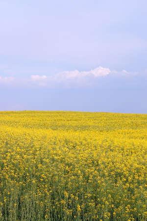 oilseed rape field spring season