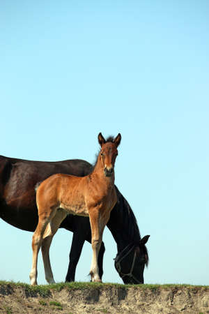 brown foal and black mare horses