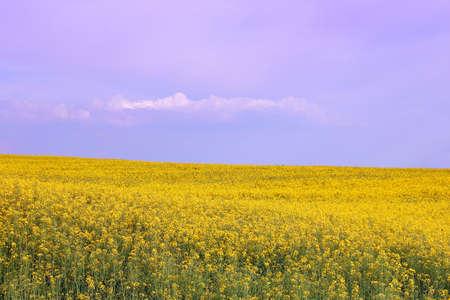 oilseed rape field spring season landscape