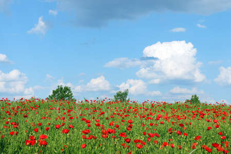 Spring meadow with poppies flowers landscape