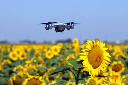The drone is flying over the sunflower field technology and agriculture