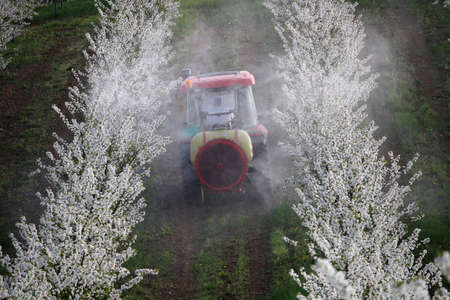tractor sprays insecticide in cherry orchard in spring   Stock Photo