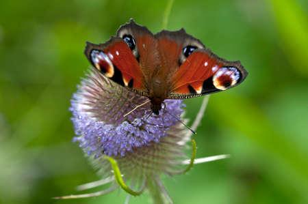 peacock butterfly: Peacock Butterfly, Nombre cient�fico: Aglais io. Una de las m�s bellas mariposas de Gran Breta�a Foto de archivo