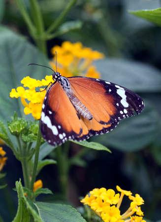 danaus: Plain Tiger Butterfly or African Monarch (Danaus chrysippus)