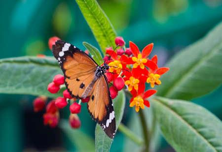 danaus: Plain Tiger Butterfly or African Monarch (Danaus chrysippus  Stock Photo