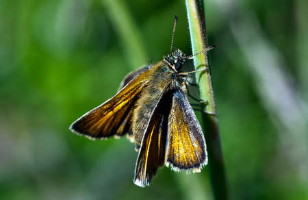 skipper: Small Skipper Butterfly, Thymelicus sylvestris on a green stalk