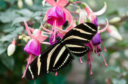 longwing: The Zebra Longwing or Zebra Heliconian (Heliconius charithonia)