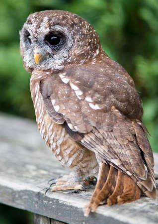 tawny: The Tawny Owl or Brown Owl (Strix Aluco)