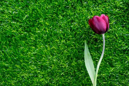 blooms: Impressive Tulip with dark purple smoky blooms.