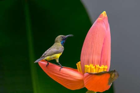 A little bird on banana flower.