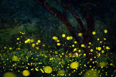 Lampyridae , Lightning Bugs Fireflies , Long exposure photo Reklamní fotografie
