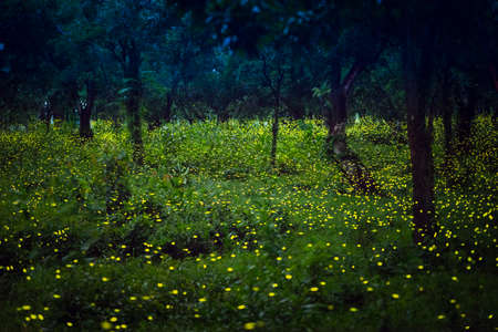 Lampyridae , Lightning Bugs Fireflies , Long exposure photo Фото со стока