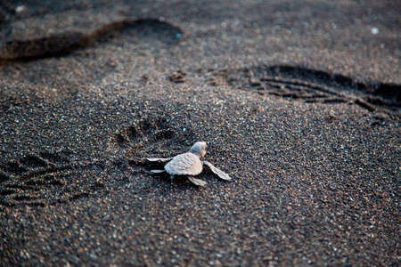 turtle on black sand of the pacific ocean