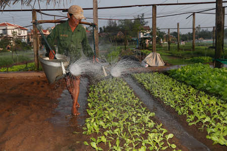 Organic vegetable gardens in Tra Que Village. Irrigation, A farmer waters his vegetable farm. Hoi An. Vietnam. Stock fotó