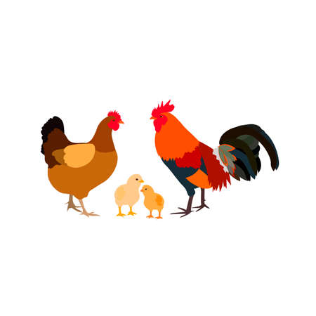 chicken rooster white farm family