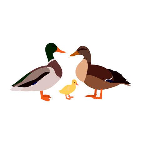 duck drake duckling white farm family