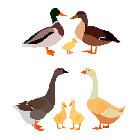 a family of ducks and a family of geese on a white background. vector illustration.