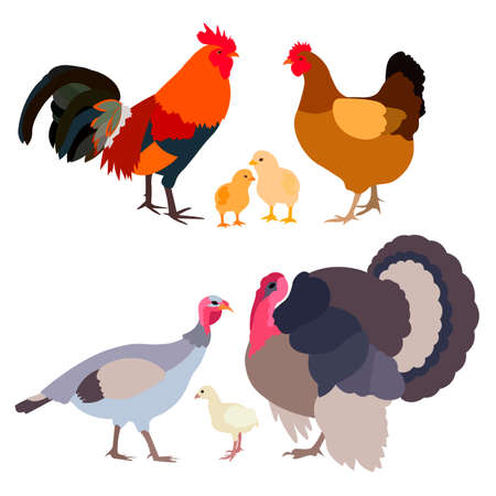 The family's chickens and a family of turkeys on a white background. vector illustration Standard-Bild - 91682255
