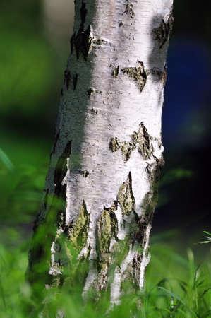 betula pendula: The trunk of a silver birch (Betula pendula)